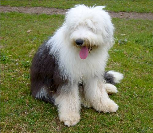 Haverlands Old English Sheepdogs - NEWS